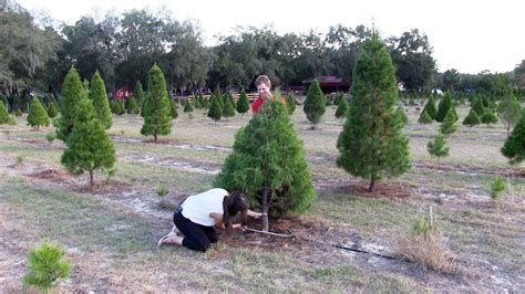 where you can cut down your own christmas tree orlando