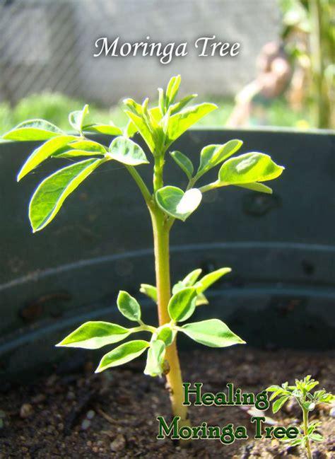 growing moringa moringa trees  sale  mecbd hemp