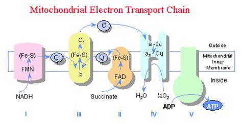 diagram of electron transport ap bio december 2010