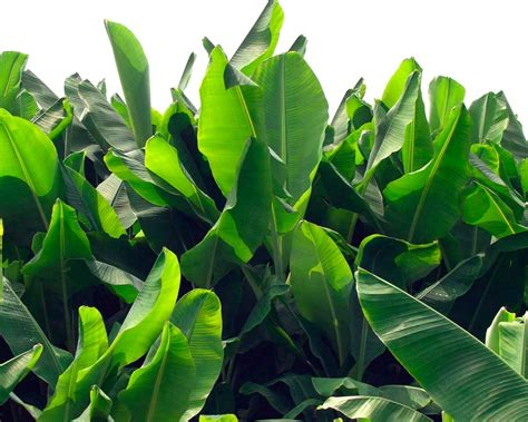 tropical plant leaves winter hardy tropical plants diy