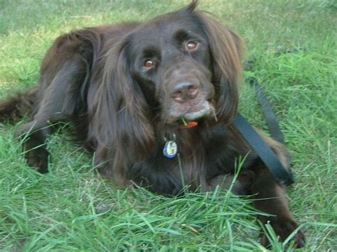 german longhaired pointer puppies pin by breeds on german longhaired pointer