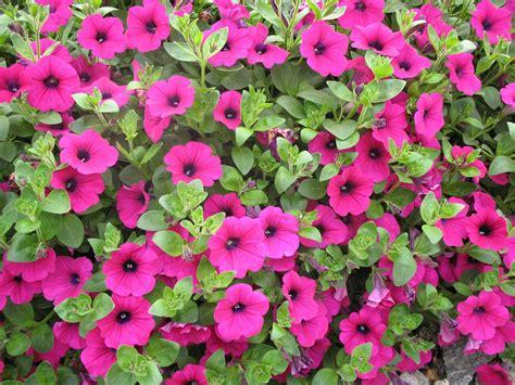 fiori primaverili da balcone fiori primaverili da giardino e avere un bel balcone