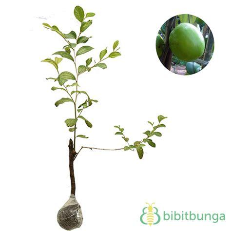 tanaman apel india putsa indian jujube bibitbunga