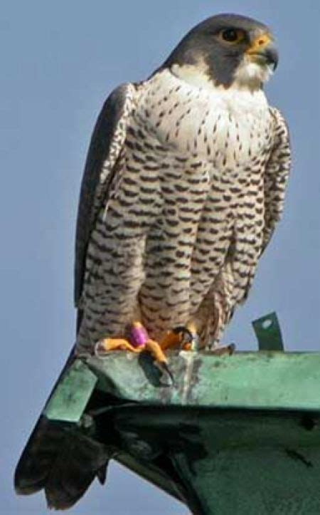 40 best images about falcons nest on pinterest atlanta falcons football wall and blog south bend in peregrine falcon cam babies in the nest