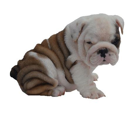 puppies albany ny bulldog breeders near albany ny dogs breed sierramichelsslettvet