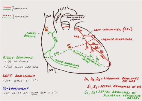 diagram of the arteries coronary circulation diagram www pixshark images