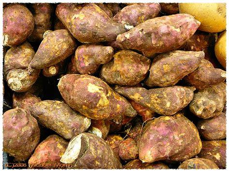 potato like root vegetable sun chaser s tale boniato a caribbean staple