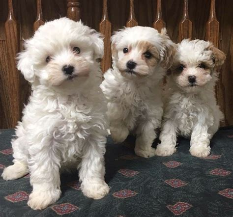 goldendoodle puppies for sale rochester ny puppy for sale goldendoodles for sale puppies ny adopt