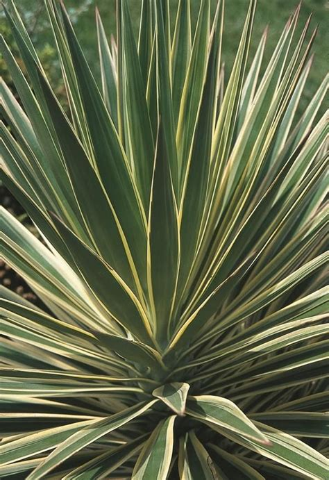 Tropical Yucca Plant by Best 25 Yucca Plant Ideas On Desert