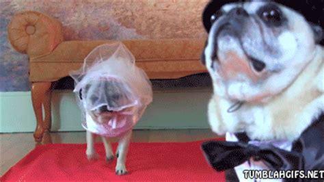 pug in wedding dress pug dress up gif find on giphy