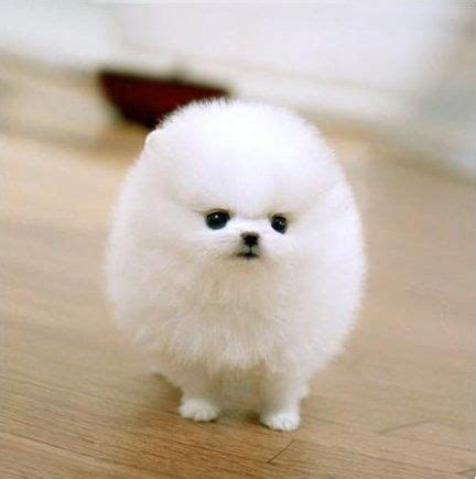 how much is pomeranian in philippines 81 best images about pocket puppy pictures on beagle puppies pocket