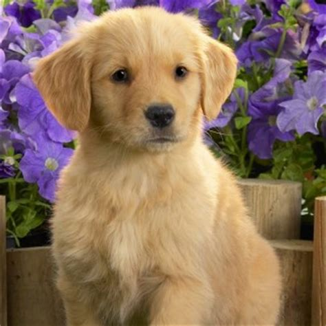 really golden retriever puppies really golden retriever puppies images of litle pups