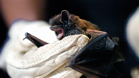 woman dies  rabies  waking   find  bat   bed shots health news npr