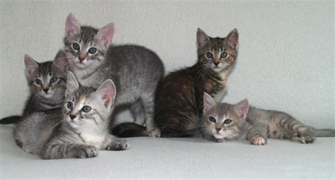 European Shorthair Info, Personality, Kittens, Pictures