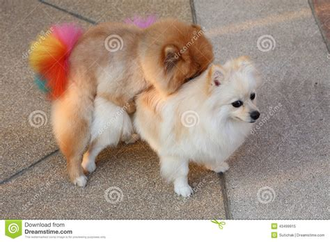 white and brown pomeranian pomeranian dogs stock photo image 43499915
