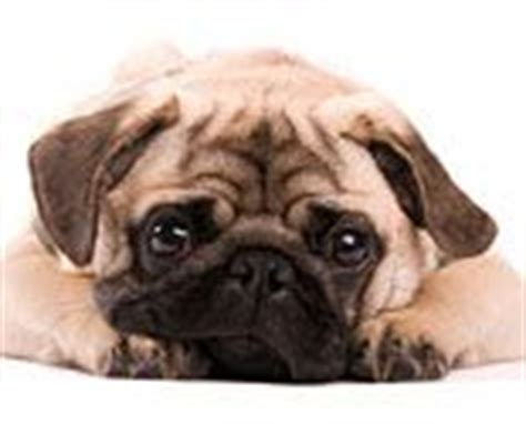 clever pug names names find and names