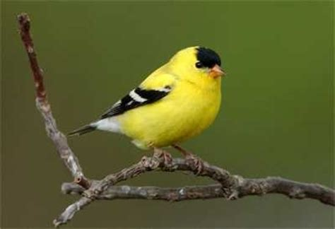 bird sounds american goldfinch