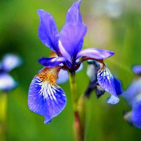 Bibit Benih Bunga Blue bibit benih seeds blue iris flower iris bunga