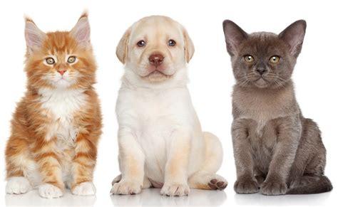 two dogs and a cat burmese labrador retriever maine coon kitten puppy cat wallpaper 4100x2523