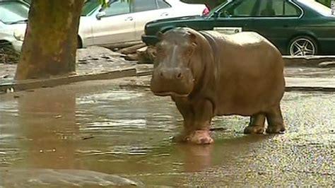 tiger kills man  flooding  animals  escape