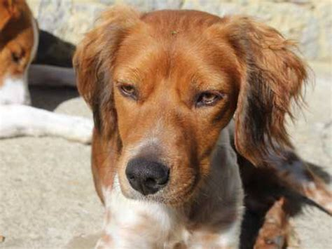 brittany spaniel dog breed information, buying advice