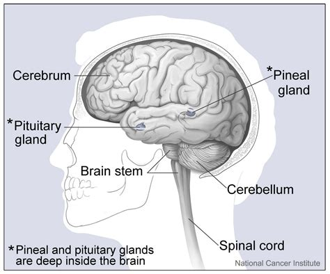 major sections of the brain file major parts of the brain jpg wikimedia commons