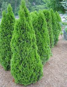 thuja emerald green arborvitae car interior design