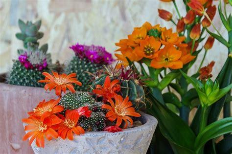 foto piante grasse fiorite piante grasse cura tipi con fiori da appartamento