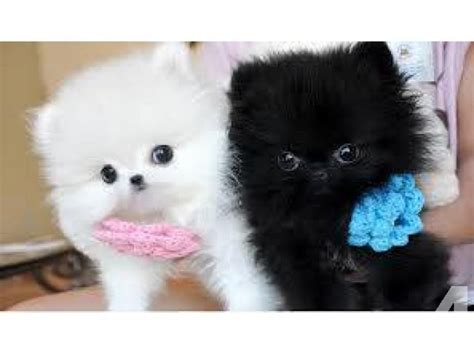 pomeranian puppies for sale in ohio teacup pomeranian puppies for sale in avon lake ohio classified americanlisted