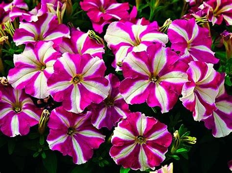 choose flowers for window boxes www coolgarden me