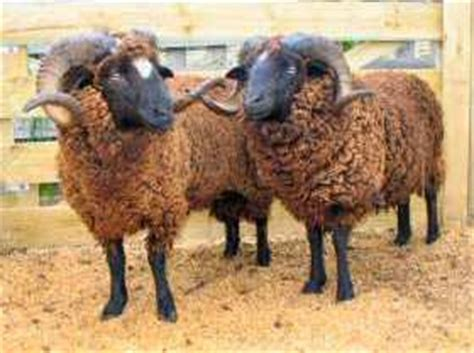 Self Shedding Sheep Breeds by Hangs By A Thread Arapawa Sheep