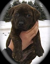 puppy frap 1000 images about labrador retrievers by susan plants on
