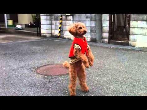 dogs back legs not working walks on two legs