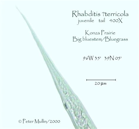 Rhabditis terricola Photo gallery-Konza R