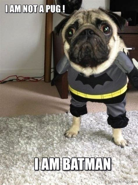i am a pug 30 hilarious pug memes that make you smile picsmine