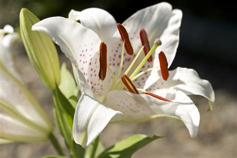 oriental lily care after bloom k k club 2017