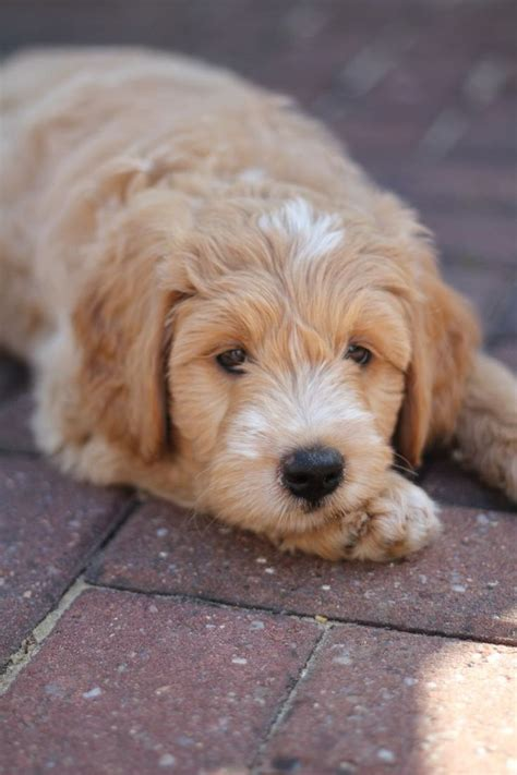 mini labradoodles size the 25 best mini cockapoo ideas on mini