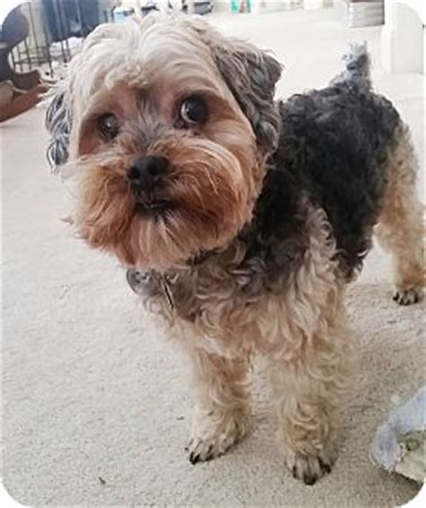 yorkies for adoption in ga leo adopted lawrenceville ga yorkie terrier poodle miniature mix