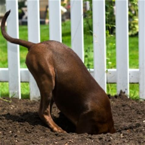 why do dogs dig holes in the backyard dogscaping part 2 tips for designing a beautiful dog