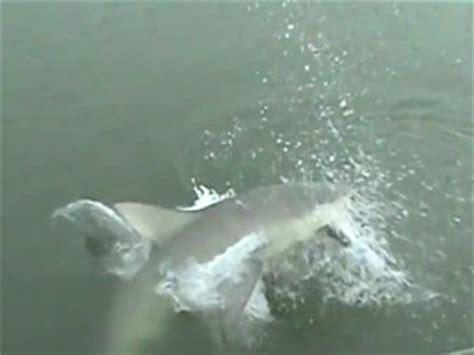 mississippi river sharks bull shark scares business insider