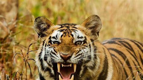 tiger tiger essential modern tiger cell at wii gets 3 year extension dehradun hindustan times