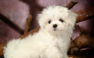 Maltese Puppies How To Care For A Maltese The Dogs Breeds