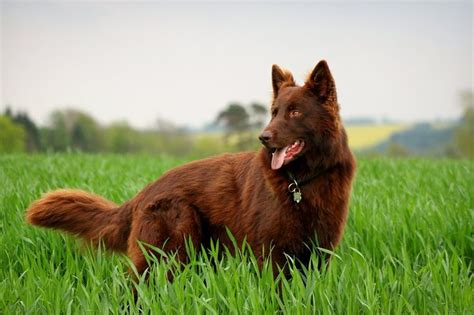 liver colored solid or liver colored german shepard i never
