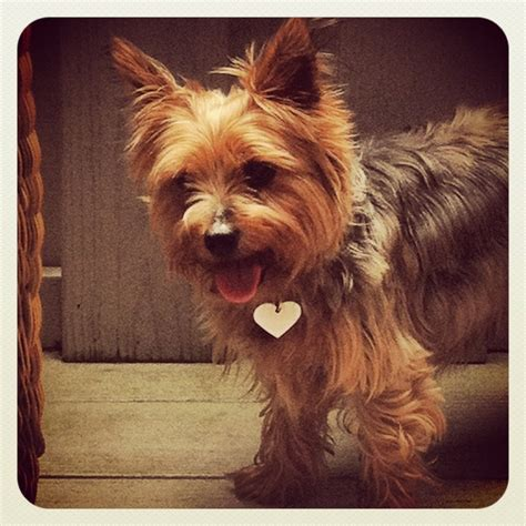 how much money is a teacup yorkie 17 best images about yorkie s like dakota on pets puppys and