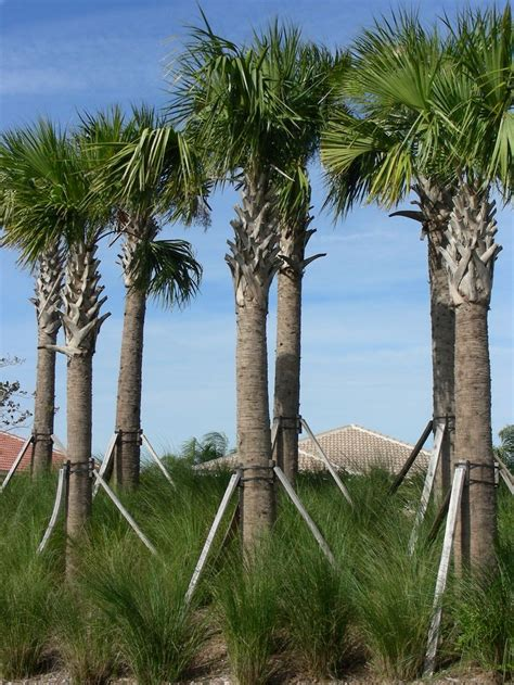 30 best images about palm trees in landscape design on
