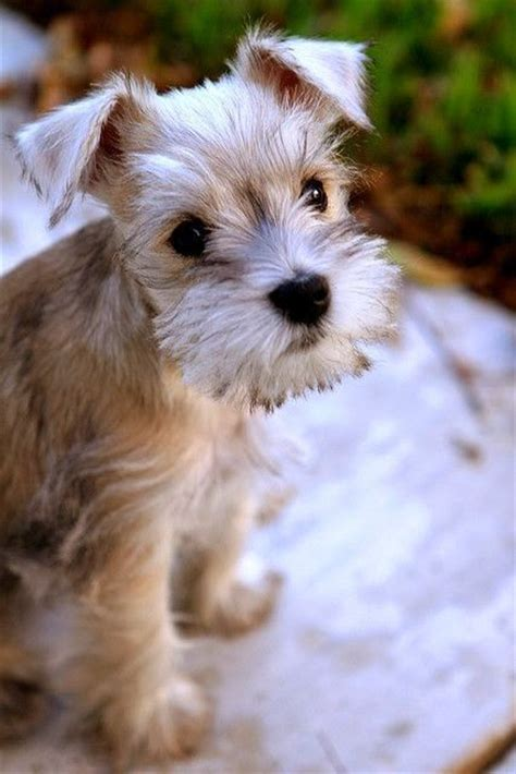 hypoallergenic dogs top 10 hypoallergenic dogs breeds picture