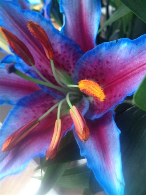 the gallery for gt blue tiger lily flower