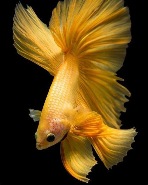 Makanan Ikan Hias Layar wallpaper ikan cupang ikan cupang hias koi plakat fancy