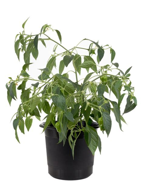 peperoncini in vaso pianta di peperoncino in vaso peperoncino piccante