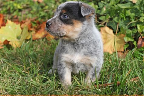 puppies for sale in southern california queensland heeler breeders southern california breeds picture